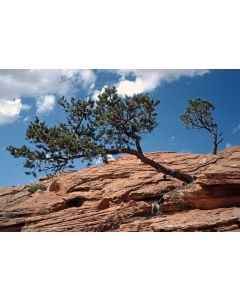 Pine Trees on Red Rock